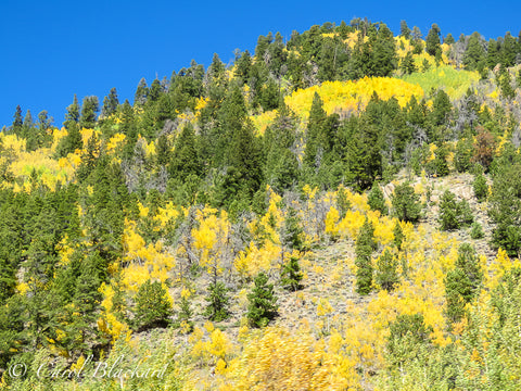 Yellow aspens and green evergreen trees on hillside