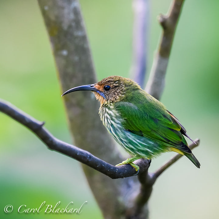 Green bird with short tail, blue streak on cheek