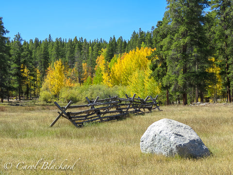Yellow-green aspens with split rail fence and boulder in front