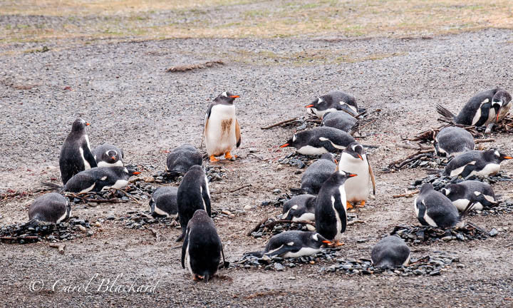 Fat penguins in breeding colony on rock nests
