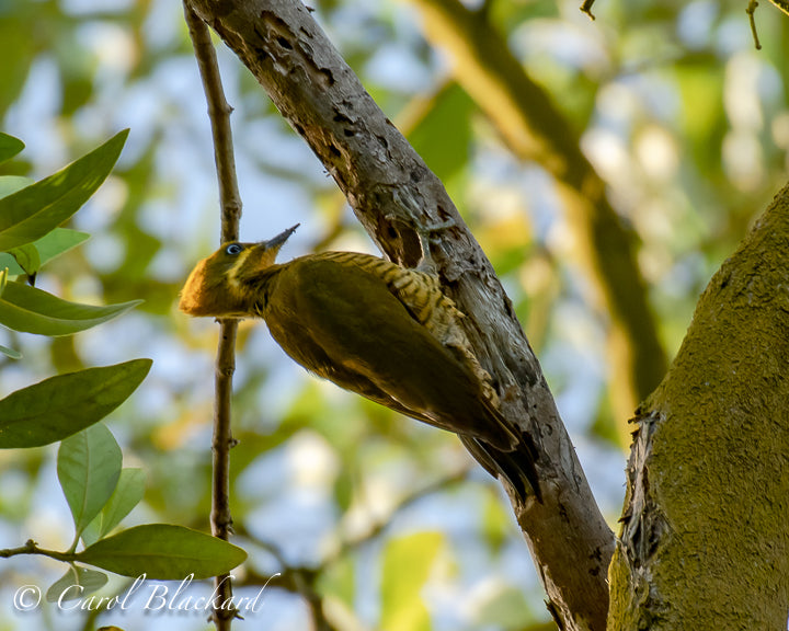 Golden and green woodpecker