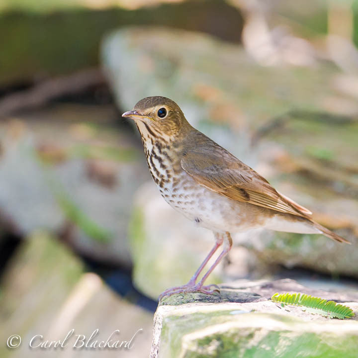 Thrush with distinct markings on rock