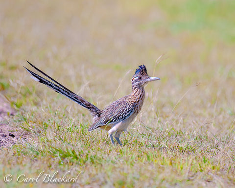 Greater Roadrunner, tail up,  at Lake Colorado City State Park, Texas