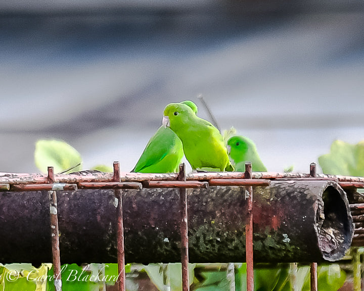 Small little green parrots