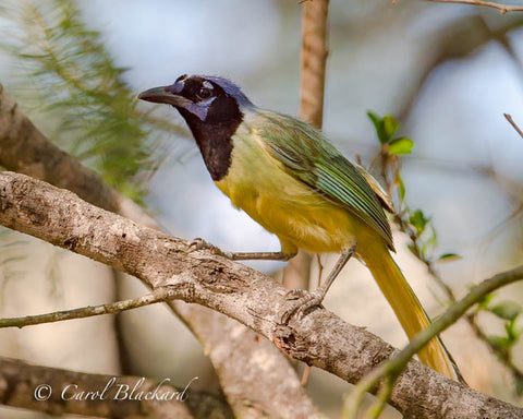 Green Jay on branch