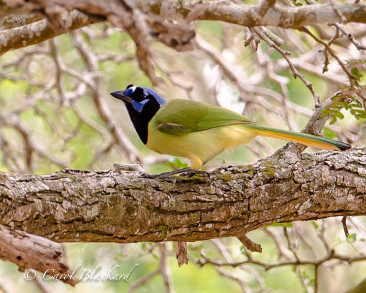 Colorful green jay on branch