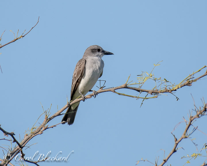 Perched grey flycatcher