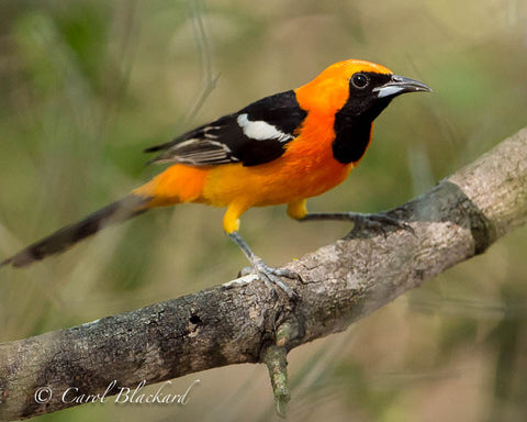 Bright orange Hooded Oriole on branch close-up