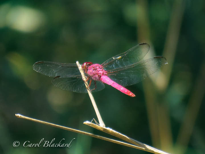 Pink and red dragonfly resing on twig