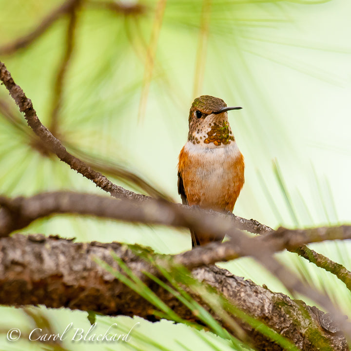 Rufous Hummingbird, Immature, perched, Arizona
