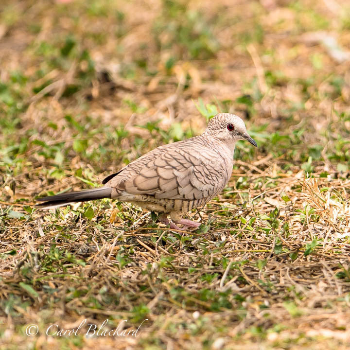 Dove on ground, patterned back