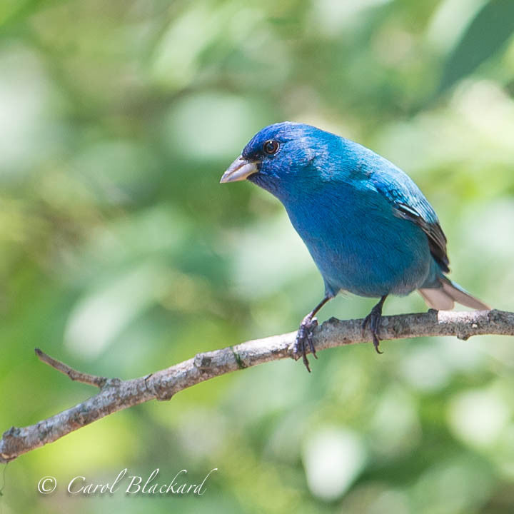 Bright blue bunting bird on branch