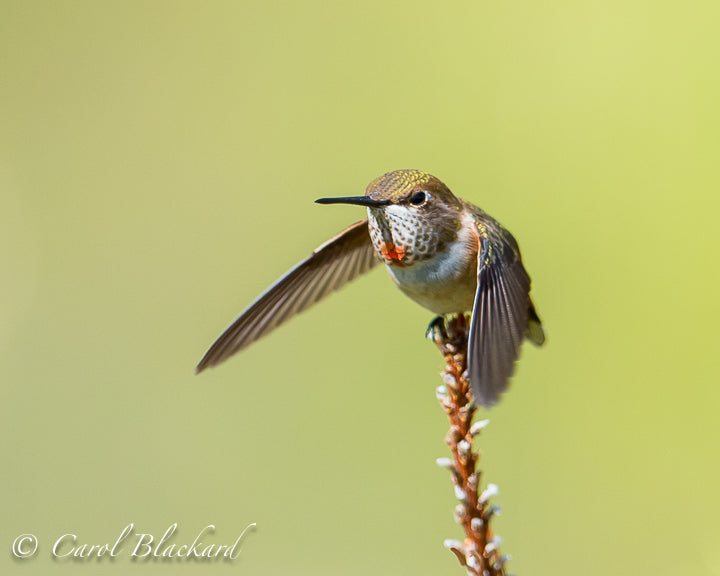 Hummingbird with green head and orange throat taking off from twig