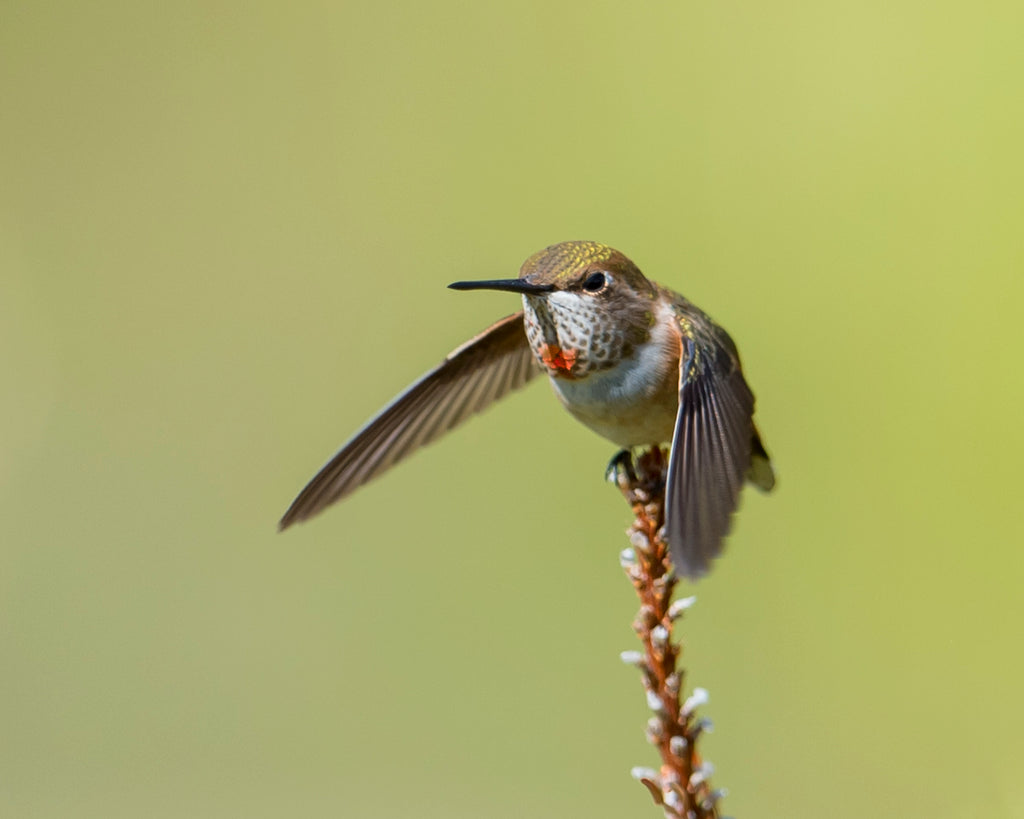 Rufous Hummingbird, juvenile male, aggressively flying from twig