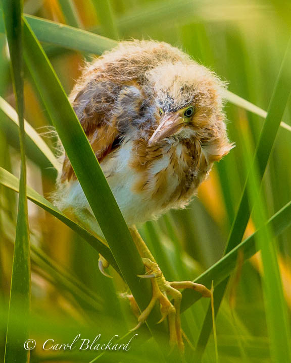 Bittern chick in reeds