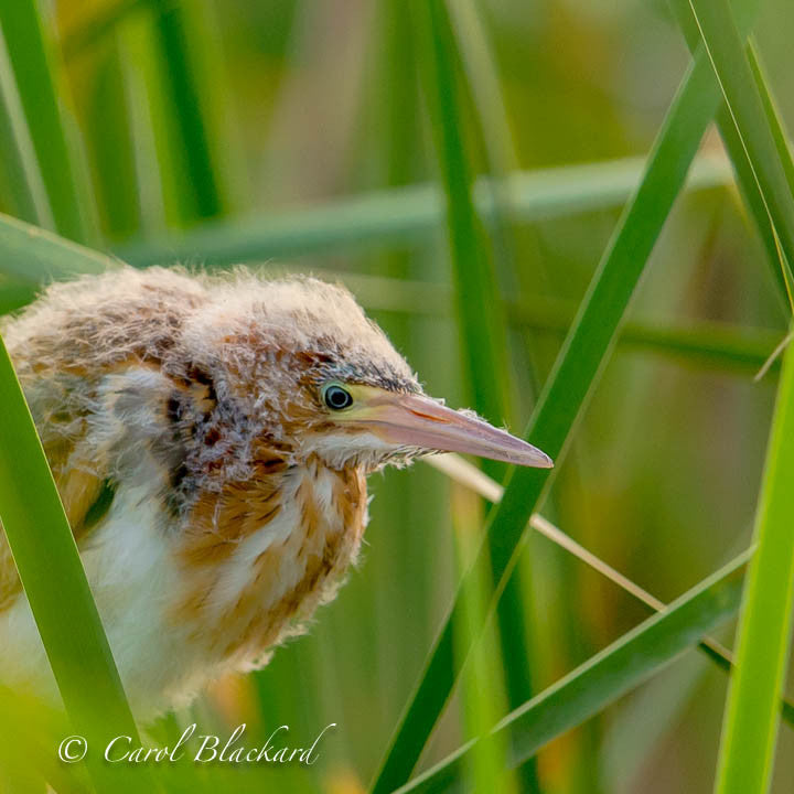 Fluffy bittern chick head in reeds