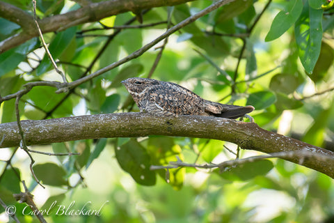 NIghthawk sleeping on branch