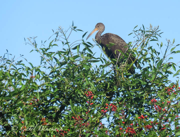 Heron-like bird in top of green tree