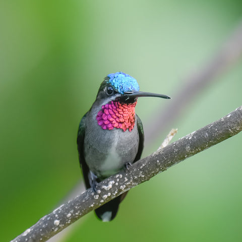 Blue head and pink throated hummingbird