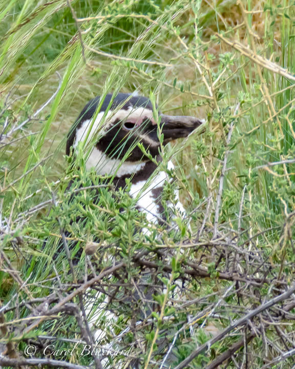 Penguin hiding behind green grass