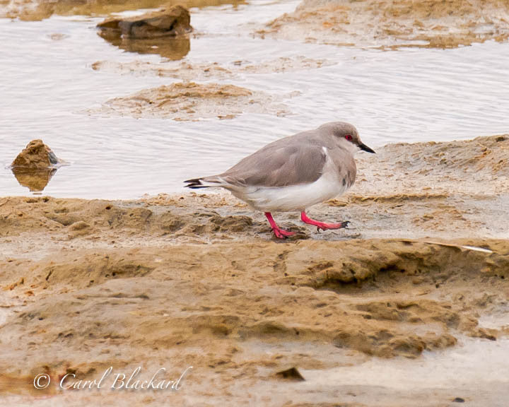 Gray plover bird with pink legs walks on shore
