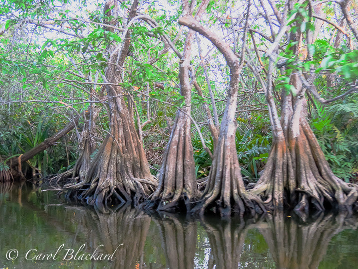 Mangrove trees in swamp, Mexico