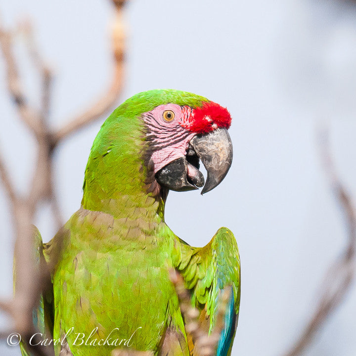 Brightly-colored Macaw top half portrait