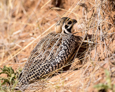 Boldly spangled quail hunkered down