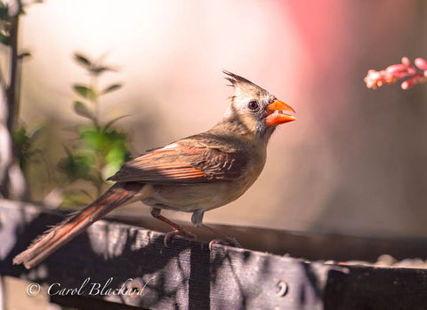Female cardinal bird with seed in beak against pink background