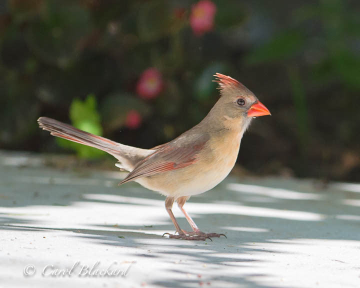 Female cardinal bird with orange beak and raised crest