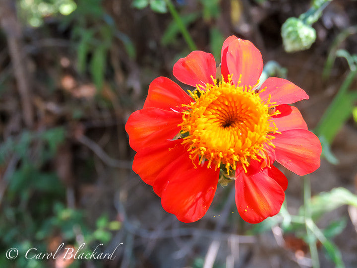 Orange and yellow flower, Mexico