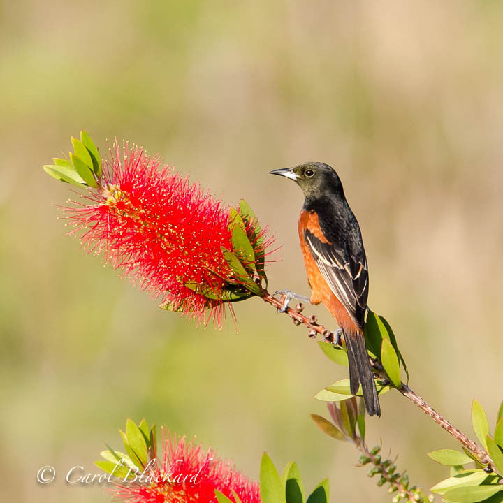 Oriole on twig of red bottle-brush mimosa flowers