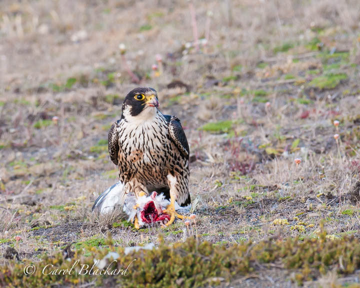 Falcon pauses while eating gull on ground