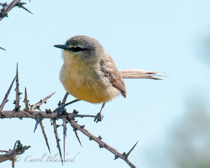 Gray and puffy small bird perches on thorn