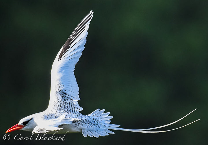 Flying white birds with long trailing tails