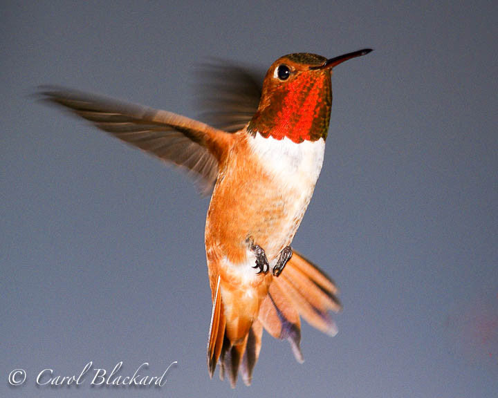 Rufous Hummingbird male, bright gorget, Colorado