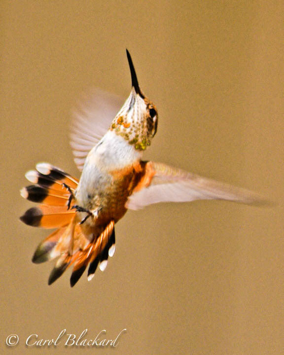 Rufous Hummingbird, in flight, tail flared, Colorado