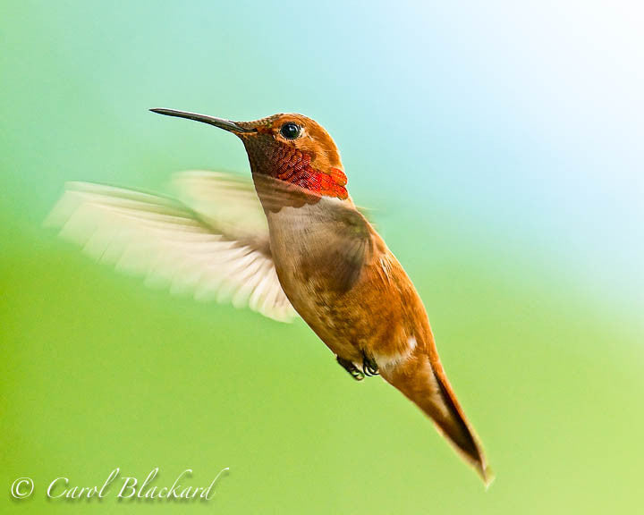 Rufous Hummingbird male hovering, wings forward, Colorado