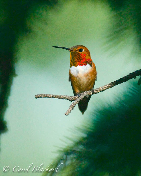 Rufous Hummingbird male, sitting quietly on branch, Colorado