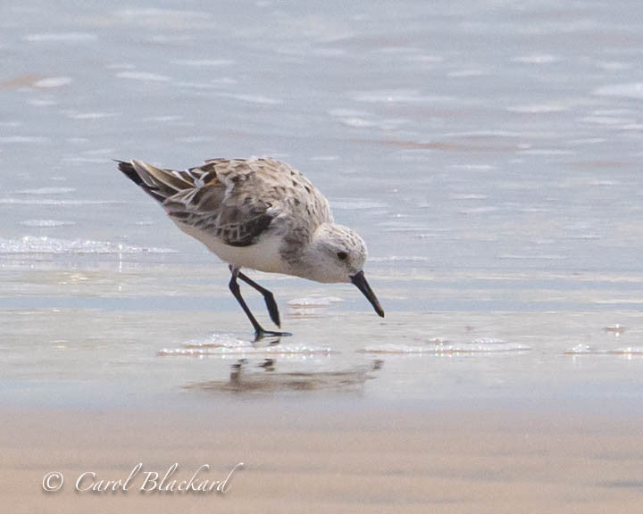 Sanderling shore bird at water's edge