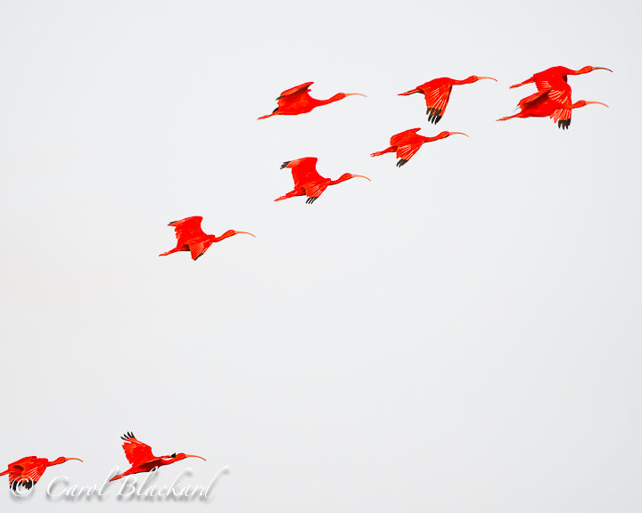 Scarlet Ibis flying in formation