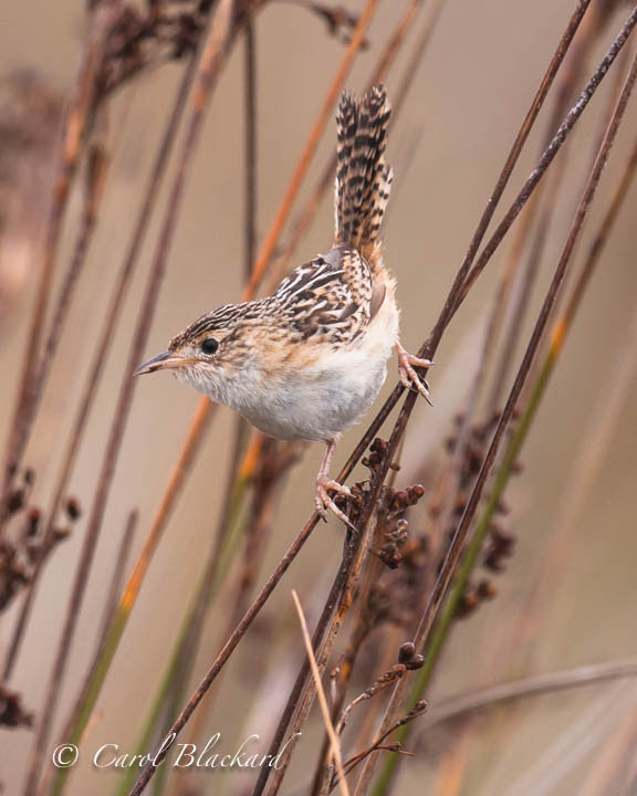 Brown and white speckled wren leaning down