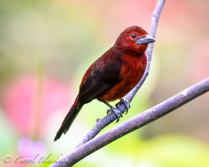 Red bird with big black beak