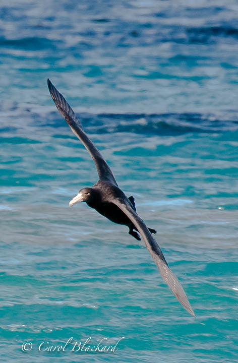 Soaring large sea bird over turquoise water