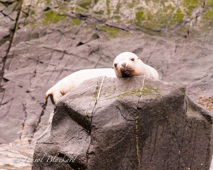 Sea lion on rock looking mournfully at camera