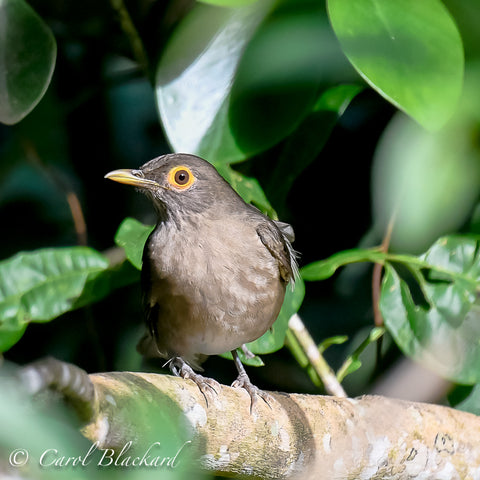 Spectacled Thrush, male