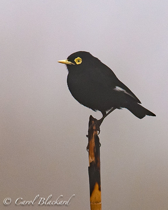 Spectacled Tyrant Male, Argentina