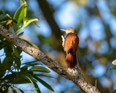 Lovely woodcreeper in the light