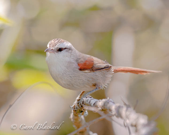 Pale white and rufous bird on twig