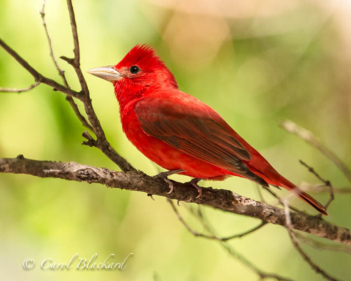 Red tanager bird with crest on tree branch